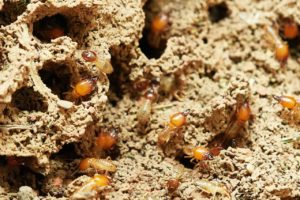 termites are occasionally found during a termite inspedtion in Maryland